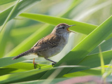 Marsh Wren (Cistothorus Palustris) Perched and Singing on Cattails, Victoria, British Columbia Photographic Print by Glenn Bartley