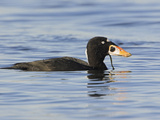 Surf Scoter (Melanitta Perspicillata) Swimming, Victoria, British Columbia, Canada Photographic Print by Glenn Bartley
