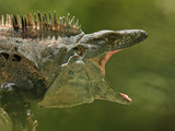 Black Spiny-Tailed Iguana (Ctenosaura Similis), Costa Rica Photographic Print by Gregory Basco