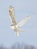 Snowy Owl (Bubo Scandiacus) Hunting for Prey, Ontario, Canada Photographic Print by Glenn Bartley