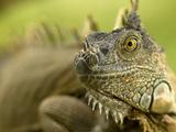 Green Iguana (Iguana Iguana), Costa Rica Fotografie-Druck von Gregory Basco