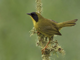 Olive-Crowned Yellowthroat (Geothlypis Semiflava) Perched on a Branch in the Milpe Reserve, Ecuador Photographic Print by Glenn Bartley