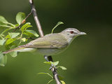 Red-Eyed Vireo (Vireo Olivaceus) Perched on a Branch, Ontario, Canada Photographie par Glenn Bartley