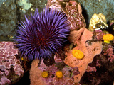 Purple Sea Urchin (Strongylocentrotus Purpuratus), Seattle Aquarium, Washington Photographic Print by Buff & Gerald Corsi