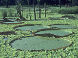 Giant Water Lily Pads, Victoria Amazonica, Surrounded by Water Lettuce Photographic Print by James Castner