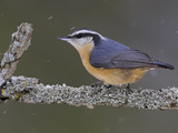 A Red-Breasted Nuthatch (Sitta Canadensis) Perches on a Branch, Toronto, Ontario, Canada Photographie par Glenn Bartley