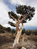 Bristlecone Pine (Pinus Aristata), Mount Evans, Rocky Mountains, USA Photographic Print by John Cornell