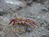 Sally Lightfoot (Grapsus Grapsus), Sombrero Chino Island, Galapagos Islands, Ecuador Photographic Print by Gerald & Buff Corsi