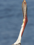 Brown Pelican (Pelecanus Occidentalis) in Full Breeding Colors Performs Head Toss, La Jolla Photographic Print by Hal Beral