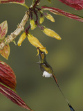 Booted Racket-Tail Hummingbird (Ocreatus Underwoodii) Photographic Print by Glenn Bartley