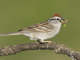 Chipping Sparrow (Spizella Passerina) Perched on a Branch with Insect Prey in its Bill, Victoria Photographic Print by Glenn Bartley