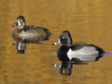 Male and Female Ring-Necked Duck (Aythya Collaris) Swimming on a Pond, Victoria, BC, Canada Photographic Print by Glenn Bartley