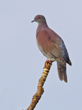 Pale-Vented Pigeon (Columba Cayennensis) Perched on a Branch Near the Napo River Photographic Print by Glenn Bartley