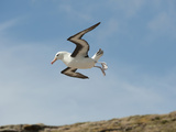 Black-Browed Albatross (Thalassarche Melanophrys) Photographic Print by Gerald & Buff Corsi
