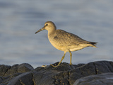 Red Knot (Calidris Canutus) Standing on a Seashore Rock, Victoria, British Columbia, Canada Photographic Print by Glenn Bartley