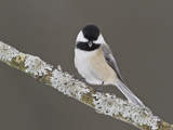 Black-Capped Chickadee (Poecile Atricapillus) Perched on a Branch, Ottawa, Ontario, Canada Photographie par Glenn Bartley