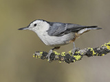 White-Breasted Nuthatch (Sitta Carolinensis) Perched on a Branch in Oregon, USA Reproduction photographique par Glenn Bartley