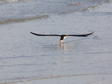Black Skimmer (Rynchops Niger) Foraging for Fish by Skimming the Water's Surface Photographic Print by John Cornell