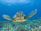 Green Turtle (Chelonia Mydas), Maui, Hawaii, USA Fotografie-Druck von Reinhard Dirscherl