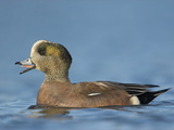 American Wigeon (Anas Americana) Vocalizing and Swimming on a Pond in Victoria, British Columbia Photographic Print by Glenn Bartley