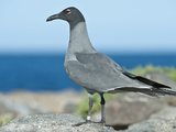 Lava Gull (Larus Fuliginosus), Galapagos Islands, Ecuador Photographic Print by Gerald & Buff Corsi