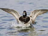 Lesser Scaup (Aythya Affinis) Landing, Victoria, BC, Canada Photographic Print by Glenn Bartley