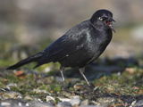 Brewer's Blackbird (Euphagus Cyanocephalus) Vocalizing, Victoria, British Columbia, Canada Photographic Print by Glenn Bartley