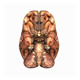 Biomedical Illustration of the Underside of the Human Brain Giclee Print by Scott Camazine