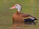 Black-Bellied Whistling Duck (Dendrocygna Autumnalis) in Houston, Texas, USA Photographic Print by Glenn Bartley