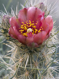 Wolf's Cholla Bloom (Cylindropuntia Wolfii), Anza Borrego Desert State Park, California, USA Photographic Print by David Cobb