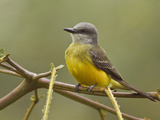 Tropical Kingbird (Tyrannus Melancholicus) Perched on a Branch in the Milpe Reserve, Ecuador Photographic Print by Glenn Bartley