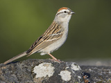 Chipping Sparrow (Spizella Passerina) Perched on a Rock in Victoria, British Columbia, Canada Photographic Print by Glenn Bartley