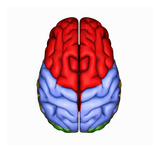 Biomedical Illustration of the Human Brain from Above Giclee Print by Scott Camazine
