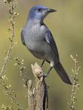Pinyon Jay (Gymnorhinus Cyanocephalus) Perched on a Branch, Oregon, USA Photographic Print by Glenn Bartley
