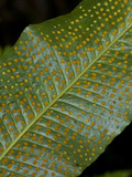 Hart's Tongue Fern (Polypodium Phyllitidis), Galapagos Islands, Ecuador Photographic Print by Gerald & Buff Corsi