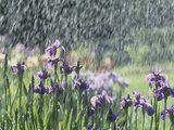Siberian Iris Garden Flowers in the Rain Photographic Print by David Cavagnaro
