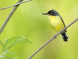 Common Tody-Flycatcher (Todirostrum Cinereum), Costa Rica Photographic Print by Gregory Basco