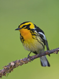 Blackburnian Warbler (Dendroica Fusca) Perched on a Branch, Ontario, Canada Photographic Print by Glenn Bartley