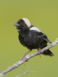 Bobolink (Dolichonyx Oryzivorus) on a Branch, Ontario, Canada Photographic Print by Glenn Bartley