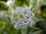 Pearly Everlasting (Anaphalis Margaritacea), Glacier Bay National Park, Alaska Photographic Print by Gerald & Buff Corsi