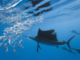 Atlantic Sailfish Hunting Sardines (Istiophorus Albicans), Isla Mujeres, Yucatan Peninsula Sea Photographic Print by Reinhard Dirscherl