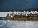Glaucous Gulls (Larus Hyperboreus), Kuiu Island, Alaska, USA Photographic Print by Buff & Gerald Corsi
