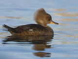 Hooded Merganser (Lophodytes Cucullatus) Swimming on a Pond in Victoria, British Columbia, Canada Photographic Print by Glenn Bartley