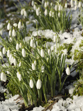 Snowdrops (Galanthus Nivalis) in Winter Snow Photographie par Gary Cook