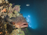 Dusky Grouper (Epinephelus Marginatus) Inside Cave, Dofi North, Medes Islands, Costa Brava Photographic Print by Reinhard Dirscherl