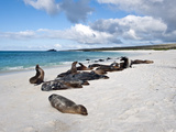 Galâ·Pagos Sea Lions (Zalophus Californianus Wollebacki), Galapagos Islands, Ecuador Photographic Print by Gerald & Buff Corsi