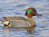 Green-Winged Teal (Anas Crecca) Swimming on a Pond, Victoria, BC, Canada Photographic Print by Glenn Bartley