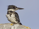Belted Kingfisher (Ceryle Alcyon) Perched on a Rock with Wet Feathers after a Dive in Victoria Photographic Print by Glenn Bartley