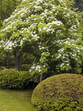 Kousa Dogwood (Cornus Kousa), Japanese Garden, Portland, Oregon, USA Photographic Print by David Cobb