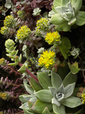 Broadleaf Stonecrop (Sedum, Spathulifolium) Growing on Coastal Cliffs, California, USA Photographic Print by David Cobb